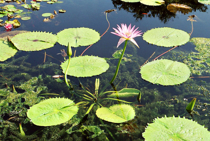 Waterlilies2